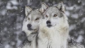 Grijze wolven
